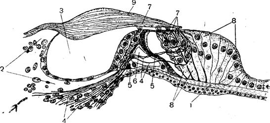 Фізіологія сенсорних систем: шкірний та слуховий аналізатор