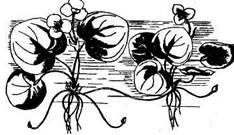 Флора вільноплаваючих рослин Чернігівщини
