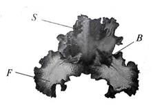 Экологическая оценка состояния популяции редкого вида Касатика (Ириса) карликового