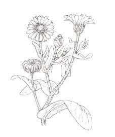 Фармакогностическая характеристика лекарственного растения Календула