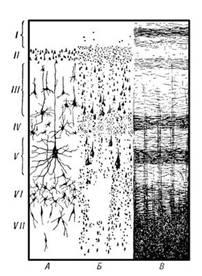 Филогенез и онтогенез коры больших полушарий
