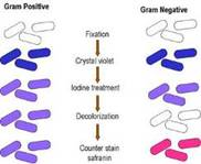 Инфектология как наука и место в ней микробиологии. Микроскопические методы